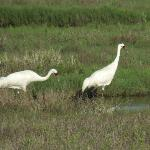 Scarce Whooping Cranes on the adjacent Aransas Bay