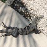 Lazy iguanas everywhere at Ritmo