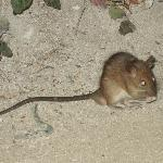 palm rat every island has them they are not vermin