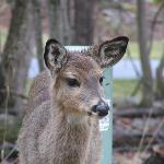 Deer at patio