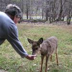Feeding deer at patio
