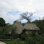 The Cotton Tree (over the main lodge)