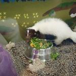 skunk in tank