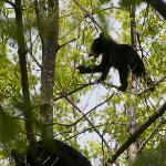 A bear cub eating leaves in a tree along the Motor Trail