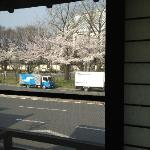Cherry blossoms across the road
