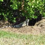 Iguanas por toda la plaza