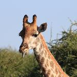 Giraffe sticking his tongue out at us