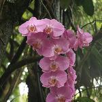 superbe orchidée au jardin botanique de Deshaies
