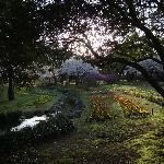 Tulips and Sakura trees