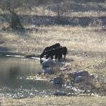 Cattle at the Watering Hole