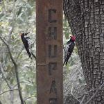 Pair of lovely Acorn Woodpeckers at the custom Chuprosa birdfeeder