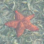 Resident Starfish - right of our cabana deck