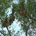 Trupialnest in the Swamp of Matapica