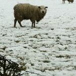 Poor sheep the day it snowed