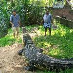 Keepers feeding Jaws III the Salt Water Crocodile