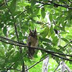 Crested Owl from a trail on the grounds