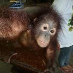 Baby Orangatang in mini zoo
