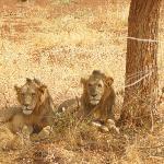 Lions in Meru
