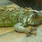 iguana dai tubercoli