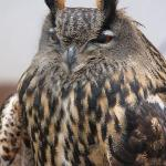 Mordecai the Eagle Owl