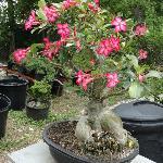 Desert Rose at Jade Gardens