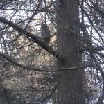 Barred Owl along Buttonwood Inn Trail system