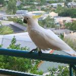 A friendly cockatoo on the balcony