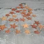 Estrellas de Mar en Playas de Bocas del Toro, Panamá.