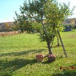 Country Apple Tree