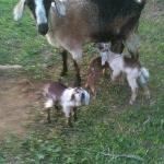 Goat with her babies