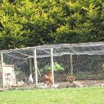 quiet chickens in back