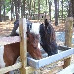 On-site ponies