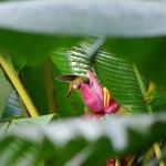 Eating from the nearby banana trees