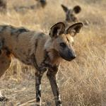 Wild Dogs at Duma Tau Camp