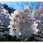 Sakura @ Yoyogi Garden