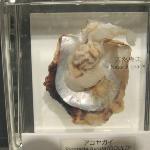 Cultivo da inserção de bolinhas nas ostras