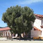 Olive Tree planted 1836 by Padres