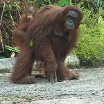 Orangutangs