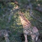 Giraffe who came for breakfast