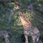 Giraffe who came for breakfast