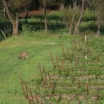 Deer grazing in the vineyard