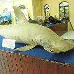 Deflated shark.