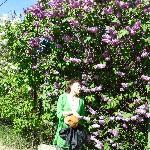 Beautiful Lilac trees