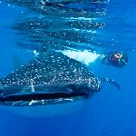 Snorkeling with the amazing Whalesharks