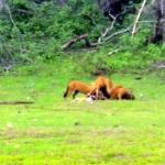 the wild dogs enjoying a fresh catch( it was a live hunt in front of us)