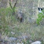 Javelina Greeting Us on Our Drive into Portal Near Parking Lot