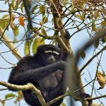 Lucky to see a gibbon