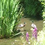 les canards sauvages au Moulin