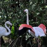 Greater Flamingos relaxing