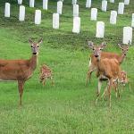 Family of deer at Jefferson Barracks